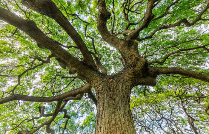 a picture of a banyan tree in Honolulu, Hawaii