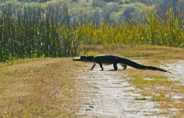 a crocodile in Orlando, Florida