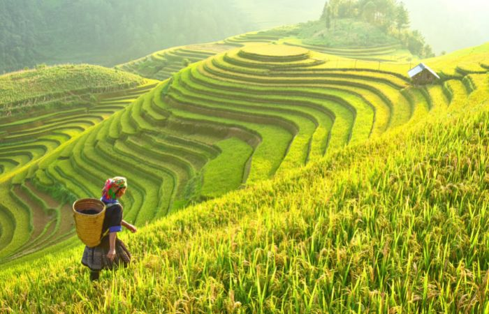 a photo of rice paddies in Bali, Indonesia with a person walking through the field