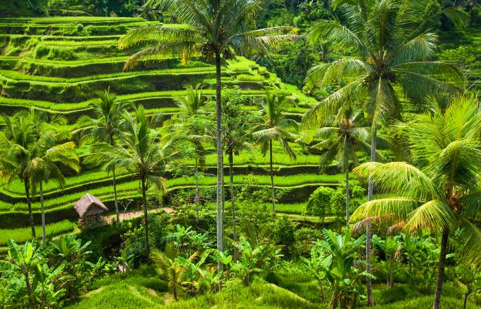 a photo of the rice paddies in Bali, Indonesia